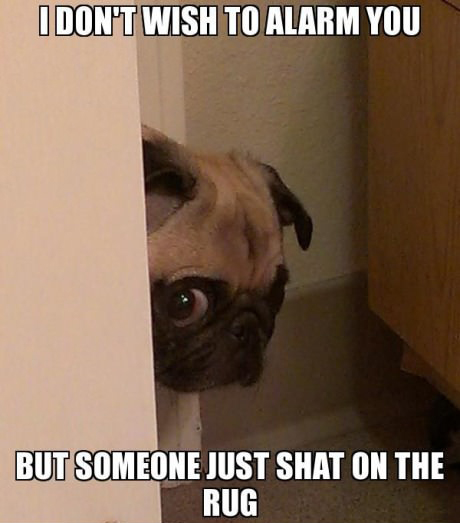 funny dog animal meme pug picture pic lol