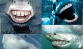 sharks with people teeth funny pic animal lol picture