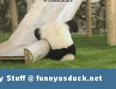 cute panda animal funny pic picture lol meme