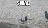 pigeon sway animal meme funny pics pictures pic picture image photo images photos lol