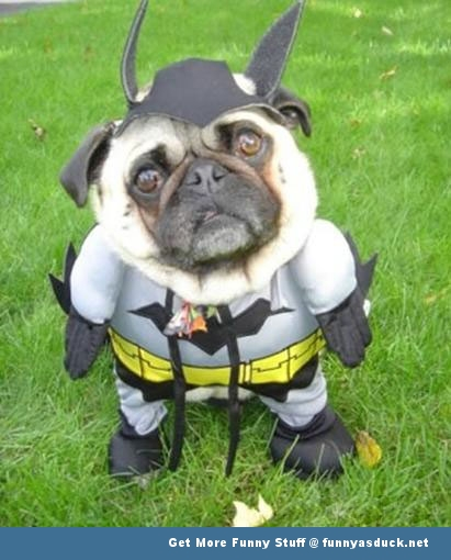 batman dog pug animal funny pics pictures pic picture image photo images photos lol
