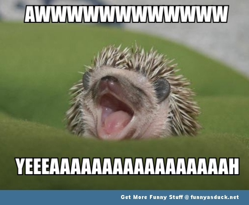 hedgehog cute meme animal funny pics pictures pic picture image photo images photos lol