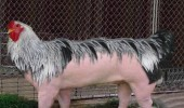 chicken pig wtf animal funny pics pictures pic picture image photo images photos lol