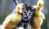 duck chick cat lolcat animal meme funny pics pictures pic picture image photo images photos lol