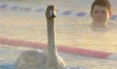 swan animal bird swimming pool funny pics pictures pic picture image photo images photos lol