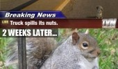 squirrel animal truck crash nuts funny pics pictures pic picture image photo images photos lol