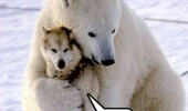 polar bear wolf omg funny pics pictures pic picture image photo images photos lol