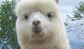 alpaca lunch pun picnic animal funny pics pictures pic picture image photo images photos lol