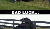 bad luck cow bull fence animal funny pics pictures pic picture image photo images photos lol
