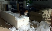 dog animal beagle torn ripped sofa couch fun funny pics pictures pic picture image photo images photos lol
