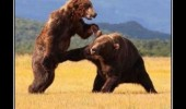 bears fighting dick punch animals funny pics pictures pic picture image photo images photos lol