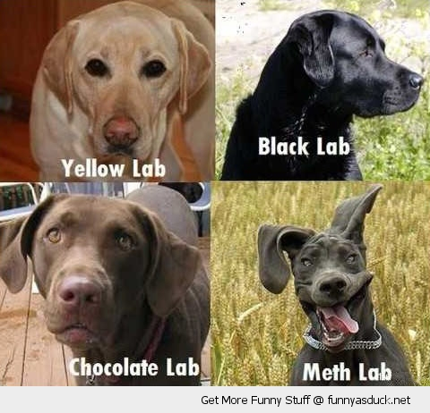 Labrador dogs meth lab animals crazy funny pics pictures pic picture image photo images photos lol