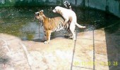brave dog sex tiger zoo striped puppy animal funny pics pictures pic picture image photo images photos lol