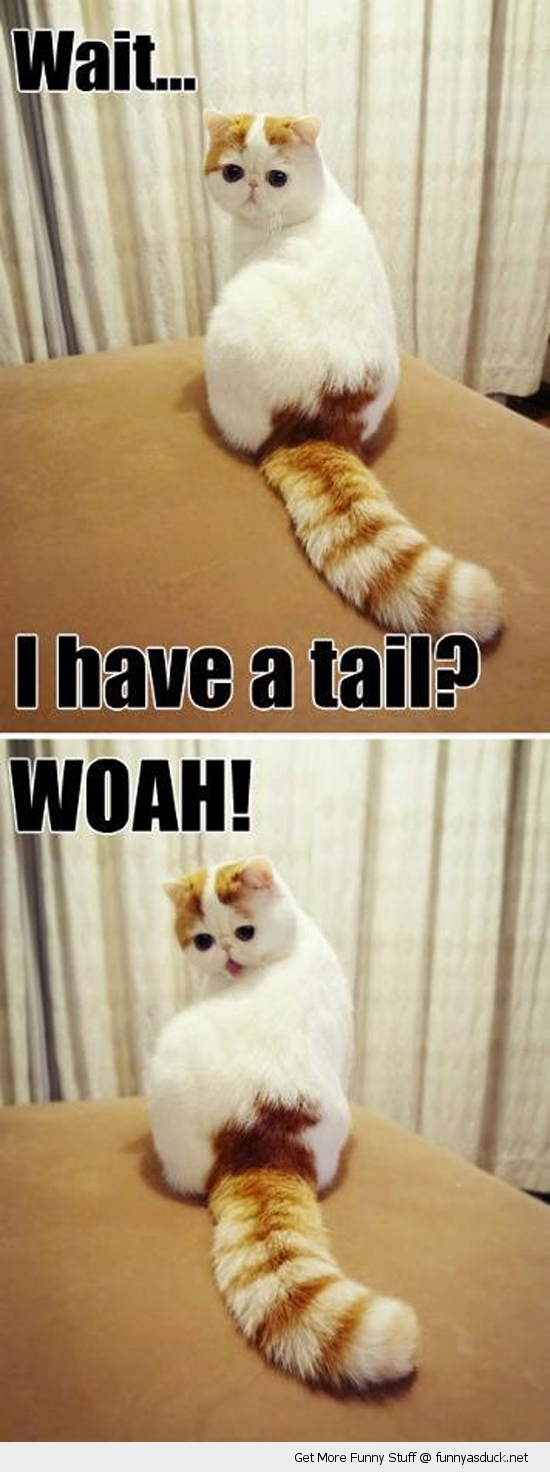 i have a tail cat lolcat animal funny pics pictures pic picture image photo images photos lol