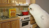 bird kitchen cooking pasta parrot budgie animal funny pics pictures pic picture image photo images photos lol