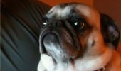 cool story bro pug aniaml dog funny pics pictures pic picture image photo images photos lol