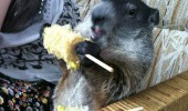 groundhog gopher animal corn deep in funny pics pictures pic picture image photo images photos lol