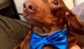 dog animal bitches love bow ties funny pics pictures pic picture image photo images photos lol