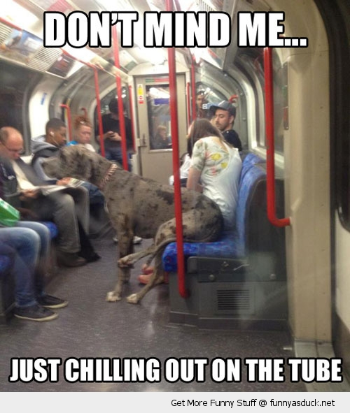 dont mind me dog huge great dane subway funny pics pictures pic picture image photo images photos lol