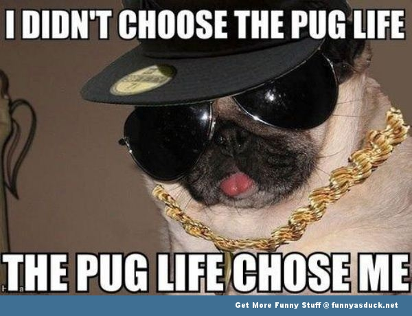 the pug life dog animal gangster funny pics pictures pic picture image photo images photos lol