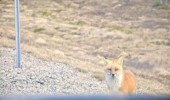 drug dealing fox animal car funny pics pictures pic picture image photo images photos lol