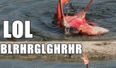 drunk flamingo falling water bird animal funny pics pictures pic picture image photo images photos lol
