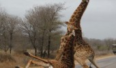 giraffe drunk road falling animal funny pics pictures pic picture image photo images photos lol