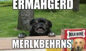 dog animal pug ermahgerd funny pics pictures pic picture image photo images photos lol