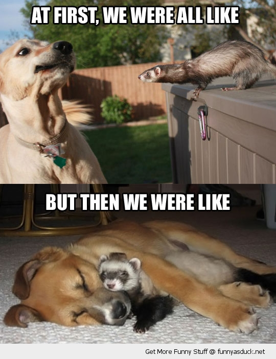 ferret dog friends cuddle animal funny pics pictures pic picture image photo images photos lol