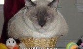 muffin top cat fits sits animals lolcat funny pics pictures pic picture image photo images photos lol