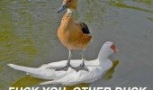 fuck you duck bird animal funny pics pictures pic picture image photo images photos lol