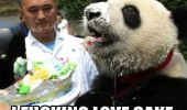 panda eading cake fucking love animal cute funny pics pictures pic picture image photo images photos lol