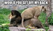 off my back woman lion animal funny pics pictures pic picture image photo images photos lol