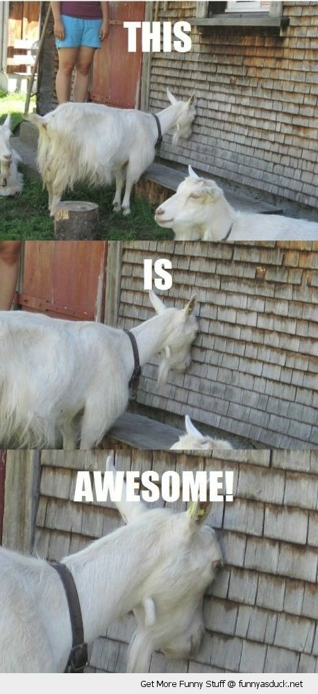 wall is awesome goat animal farm funny pics pictures pic picture image photo images photos lol