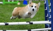 corgi dog jumping got this wink animal funny pics pictures pic picture image photo images photos lol