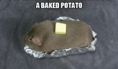 guinea pig animal baked potato funny pics pictures pic picture image photo images photos lol