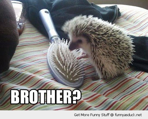 brother hedgehog hair brush animal funny pics pictures pic picture image photo images photos lol