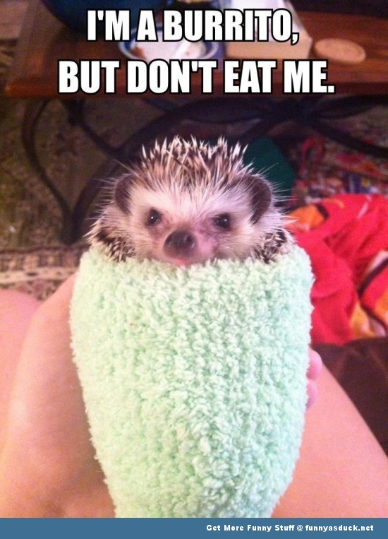 hedgehog animal cute burrito meme funny pics pictures pic picture image photo images photos lol