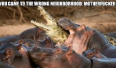 wrong neighborhood crocodile hippo biting animal funny pics pictures pic picture image photo images photos lol
