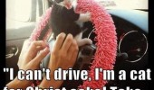 i cant drive cat lolcat animal meds funny pics pictures pic picture image photo images photos lol