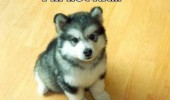 dog husky animal fat funny pics pictures pic picture image photo images photos lol