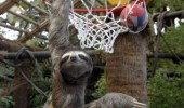 sloth basketball yo face animal sports funny pics pictures pic picture image photo images photos lol