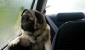 introspective pug dog animal tennis ball funny pics pictures pic picture image photo images photos lol