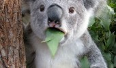 koala bear koalifications animal Australia funny pics pictures pic picture image photo images photos lol