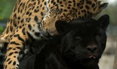 love you leopard black spot animal funny pics pictures pic picture image photo images photos lol