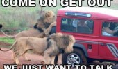 get out talk lion safari park jungle car funny pics pictures pic picture image photo images photos lol