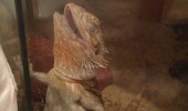 lizard bearded dragon glass happy funny pics pictures pic picture image photo images photos lol