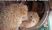 looking sharp hedgehog mirror animal funny pics pictures pic picture image photo images photos lol
