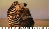 love can never be zebra lion aniaml funny pics pictures pic picture image photo images photos lol