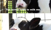 farmer milked me once cow animal crazy mad funny pics pictures pic picture image photo images photos lol